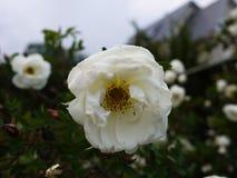 Vita buskerosor fördelade stora knoppblommor Blomma rosor i vår och försommar fotografering för bildbyråer
