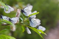 Vita butterflys på en filial Royaltyfri Bild