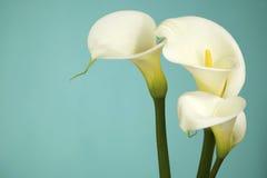 Vita Cala liljor på ett ljus - blå bakgrund Royaltyfri Foto