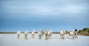 Vita Camargue hästar som galopperar till och med vatten Arkivfoton
