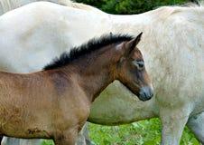 vita camarguehästar Royaltyfri Fotografi