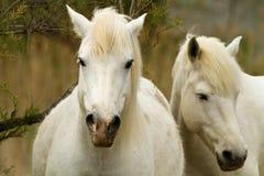 vita camarguehästar Arkivbild