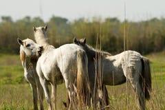 vita camarguehästar Royaltyfri Bild