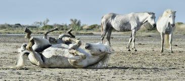 Vita camarguehästar rullar i damm Royaltyfri Foto