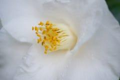 Vita Camellia Anthers royaltyfria bilder
