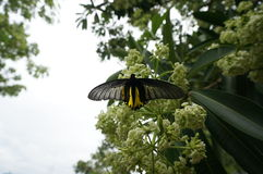 Vita cheesewoodblommor och svart fjäril Arkivbilder