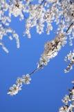 Vita Cherry Blossom Royaltyfri Fotografi