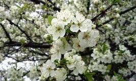 Vita Cherry Blossoms med regndroppar Royaltyfri Bild