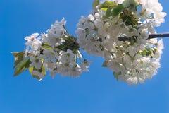 Vita Cherry Blossoms på den härliga vårdagen Arkivfoto