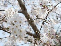 Vita Cherry Blossoms sakura i vår Arkivfoton