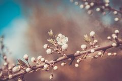 Vita Cherry Flowers Branch Spring Day Royaltyfri Bild