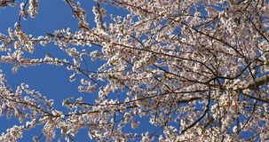 Vita Cherry Plum Tree Flowers In Spring arkivfilmer