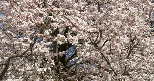 Vita Cherry Plum Tree Flowers In Spring lager videofilmer