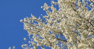 Vita Cherry Plum Tree Flowers In Spring stock video