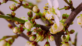 Vita Cherry Tree Flowers Blossoms stock video