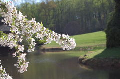 Vita Cherry Tree på sjön arkivbild