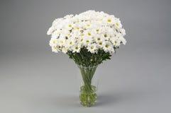 Vita chrysanthems Arkivbild