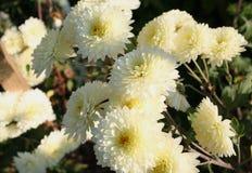 vita chrysanthemums Arkivfoto
