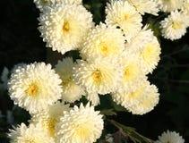 vita chrysanthemums Fotografering för Bildbyråer