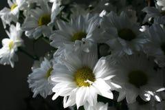 vita chrysanthemums Royaltyfria Foton