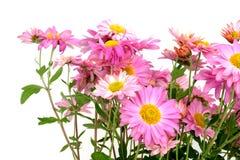 vita chrysanthemums Arkivfoton