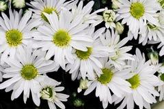vita chrysanthemums Royaltyfria Bilder