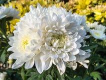 vita chrysanthemums Arkivbild