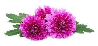 vita chrysanthemums Royaltyfri Fotografi