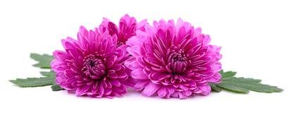 vita chrysanthemums Arkivbilder