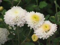 vita chrysanthemums Royaltyfri Bild