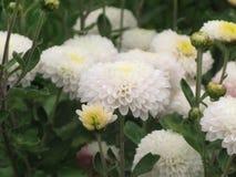 vita chrysanthemums Royaltyfri Foto