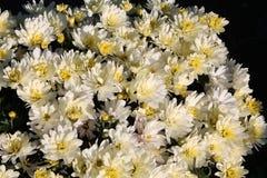 vita chrysanthemums blommor arbeta i trädgården white Arkivbilder