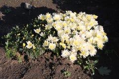 vita chrysanthemums blommor arbeta i trädgården white Fotografering för Bildbyråer