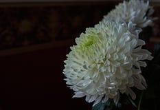 vita chrysanthemums Knopp kronblad, bukett Royaltyfria Foton