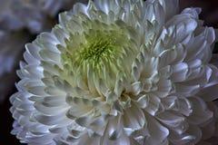 vita chrysanthemums Knopp kronblad, bukett Royaltyfri Bild