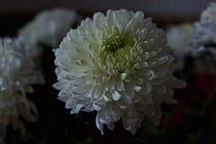 vita chrysanthemums Knopp kronblad, bukett Arkivbild