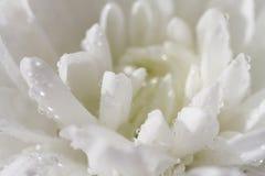 vita chrysanthemums Litet djup Arkivbild
