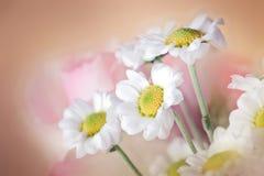 vita chrysanths Royaltyfri Foto
