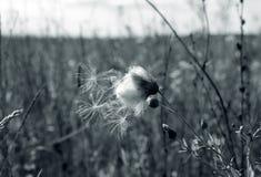Vita cottongrass i fältet Royaltyfri Bild
