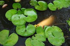 Vita Coy Fish In ett damm med Lily Pads Arkivfoton