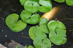 Vita Coy Fish In ett damm med Lily Pads Arkivfoto