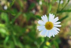 Vita Daisy Bloom Camomile Flowers Close upp i suddig grön bakgrund för sommarträdgård med kopieringssapce royaltyfri bild