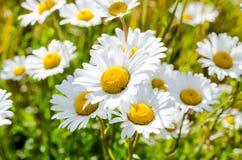 Vita Daisy Flower Arkivbilder