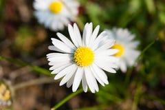 Vita Daisy Flower Royaltyfri Foto
