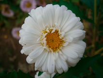 Vita Daisy Flower Arkivfoto