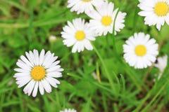 Vita Daisys i gräset Arkivfoton