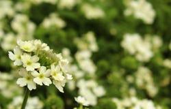Vita dekorativa blommor Fotografering för Bildbyråer