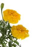 vita dekorativa blommor för bakgrund Fotografering för Bildbyråer