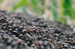 Vita del ` delle formiche Fotografie Stock Libere da Diritti