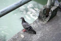 Vita del piccione Fotografia Stock Libera da Diritti